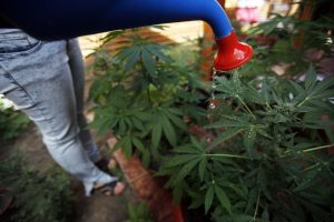 Las tribus indígenas pueden cultivar y vender marihuana en sus tierras, incluso en estados donde no esté legalizada la hierba. Foto: AP