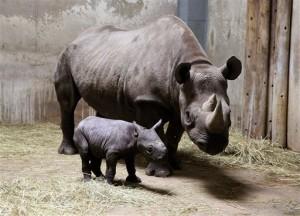 Los intentos de que Angalifu se reprodujera con la rinoceronte blanca del norte del centro de San Diego fueron infructuosos. Foto: AP