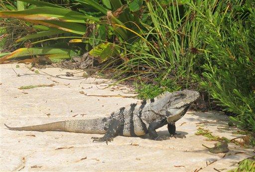 Decomisan en México comida preparada con iguana protegida