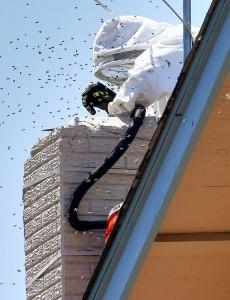 El experto en remoción de abejas Jeff Stacey saca una colmena de una chimenea el viernes, 12 de junio en Phoenix. Foto: AP