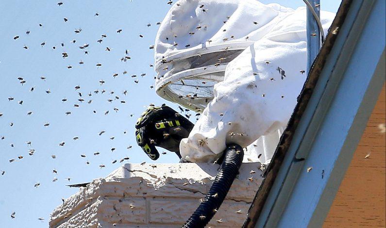Amenaza de abejas en Arizona es inusualmente elevada