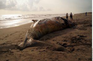 De acuerdo con el reporte, el animal mide 11 metros de largo, 2 metros de ancho y tiene un peso aproximado de 12 toneladas. Foto: Agencia Reforma