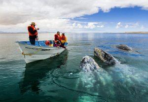 La convivencia con las ballenas es una experiencia inolvidable. Foto Cortesía de la Secretaría  de Turismo de Baja California Sur.