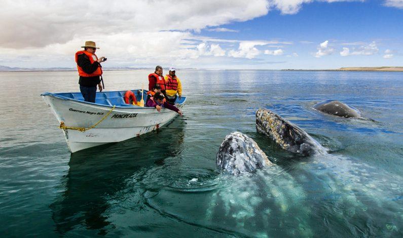 Avistamiento de la Ballena Gris, en Baja California Sur, una experiencia inolvidable