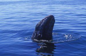 Los lugares  de avistamiento  de la ballena gris en Baja California Sur son-  Las lagunas Ojo de Liebre en Guerrero Negro y San Ignacio.   Foto Cortesía Secretaría de Turismo de Baja California Sur