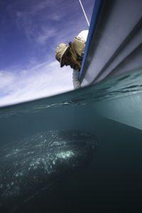 """con un poco de suerte, las ballenas se acercan a """"saludar"""" a los turistas. Foto Cortesía de la Secretaría  de Turismo de Baja California Sur.jpg"""